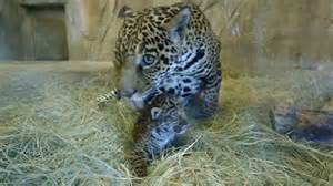 Can Jaguars Roar Jaguar Cub Roars As It Makes Debut At San Diego Zoo