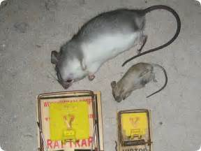 mouse vs rat how to tell the difference