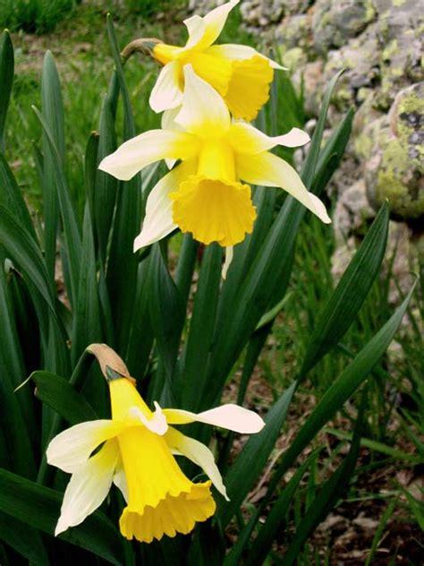 imagenes que se mueven de flores imagen de flores narcisos imagenes bonitas que se mueven
