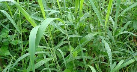 catatan kecil  rumput malela brachiaria mutica