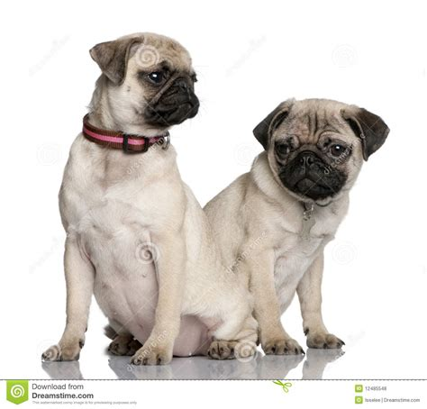 two pugs two pug puppies sitting and looking away royalty free stock photos image 12485548