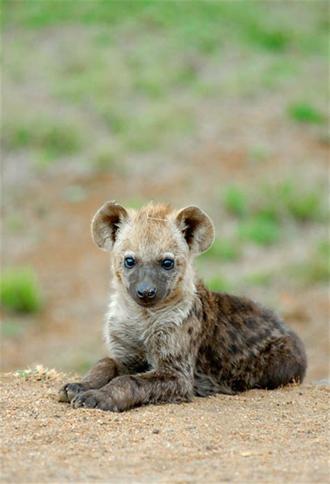 hyena cat or hyena by fancy cat on deviantart