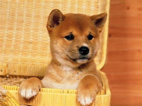 shiba puppies shiba inu puppy wallpaper 38215
