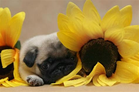 baby pug wallpaper pugs puppies wallpaper www pixshark images galleries with a bite