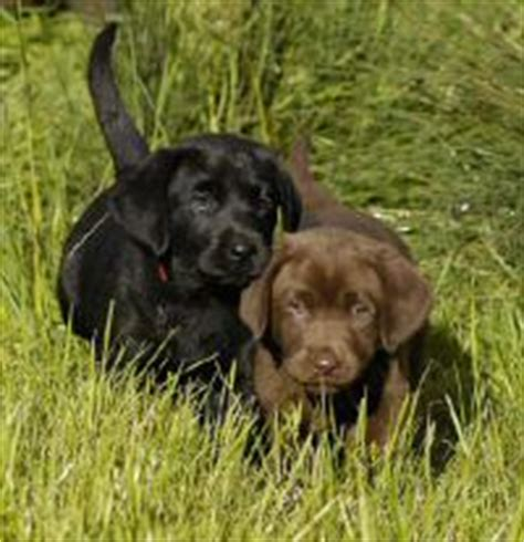 labrador puppies oregon labrador breeders oregon dogs in our photo