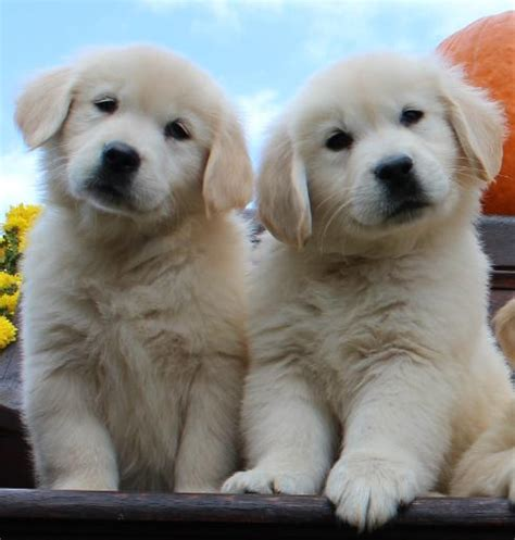 golden retriever puppies nh golden retriever puppy breeders nh dogs in our photo