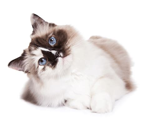 cat breeders ragdoll breeders australia ragdoll info kittens