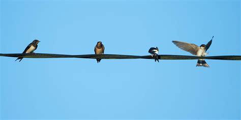 o the wire birds on the wire birds on a wire migration