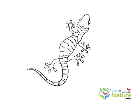 Coloring Page Gecko by Gecko Coloring Page Learn About Nature
