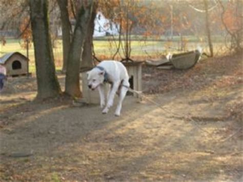 bulldog puppies for sale in ky american bulldog puppies in kentucky
