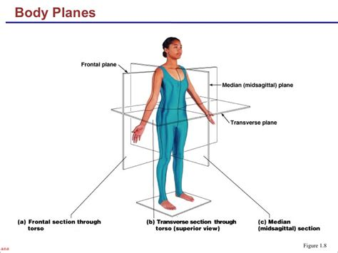 parasagittal section anatomy and physiology i coursework body planes