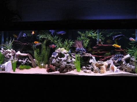 aquarium design for cichlids 125 gallon african cichlid tank aquarium designs pinterest