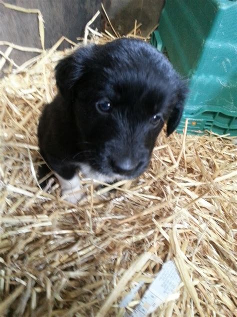 golden retriever x border collie puppies gorgeous golden retriever x border collie puppies tadcaster