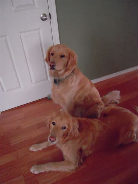 golden retriever baton golden retriever puppies kitsap county dogs our friends photo