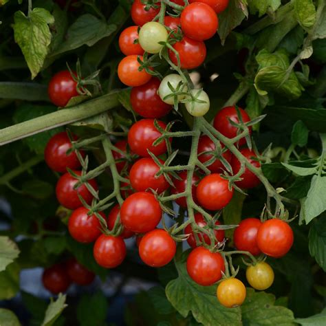 Tomat Cherry Juliet candyland hybrid tomato seeds from park seed