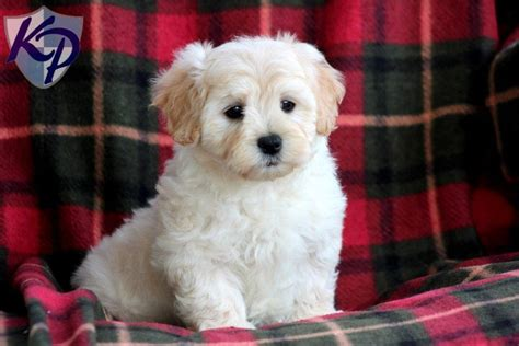maltipoo puppies for sale in maltipoo for sale breeds picture