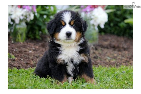 bernese mountain puppies for sale near me bernese mountain puppy for sale near lancaster pennsylvania 55d081cc bd71