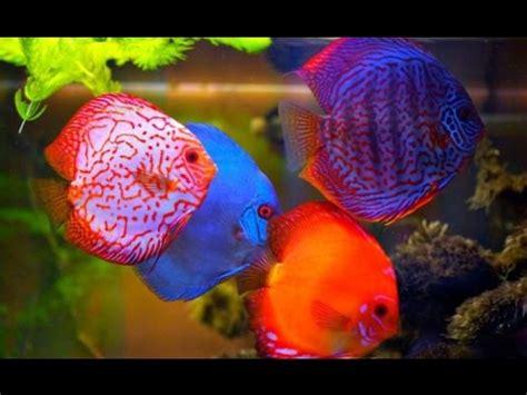Pakan Hidup Ikan Hias kebutuhan pakan nutrisi untuk ikan discus bersama