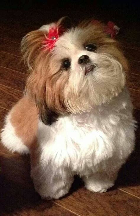 shih tzu ponytail shih tzu pony tails and ponies on