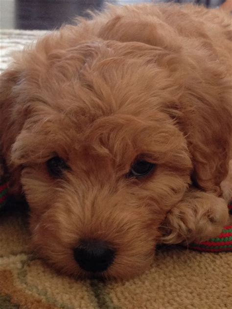 mini goldendoodle how big do they get 17 best images about pet on f1b goldendoodle