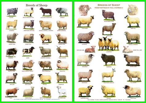 Types Of Lamb Breeds Pictures to Pin on Pinterest   PinsDaddy