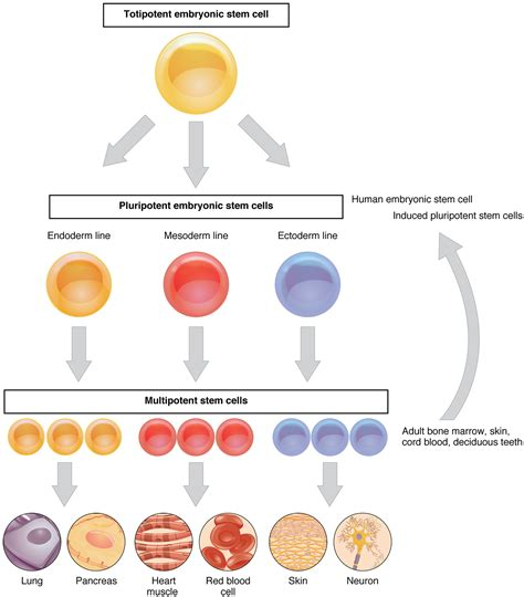 specialised cells gcse revision biology cell activity