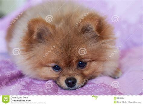 pink pomeranian pomeranian puppy on a pink background stock photo image 50104326