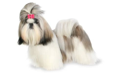 popular names for shih tzu puppies shih tzu breed information pictures characteristics facts dogtime