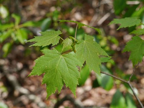 maple acer rubrum identify that plant