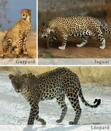 Difference Jaguar Leopard Difference Between Jaguars And Leopards Search