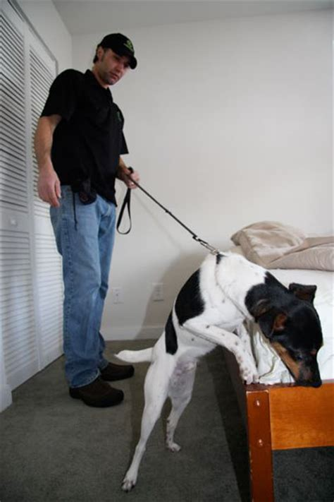 bed bug inspector bed bug canine k9 inspection bed bug detection with dogs