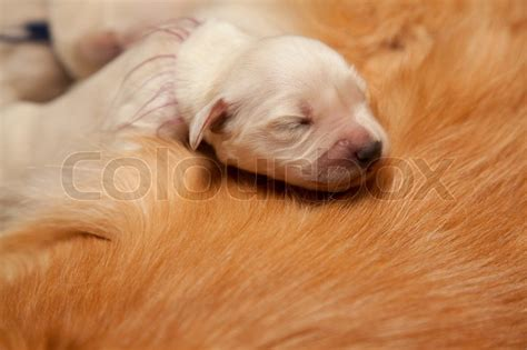 golden retriever puppies 1 week one week golden retriever puppy on s back stock photo colourbox