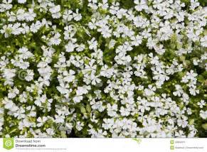 herbal background small white flowers royalty free