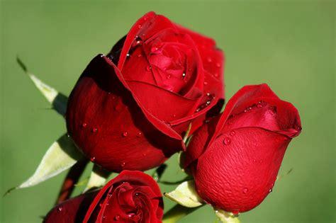 imagenes de lindas rosas imagenes de lindas rosas imagui