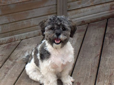 shapoo puppies wiki 222 best images about shih poo on pinterest poodles