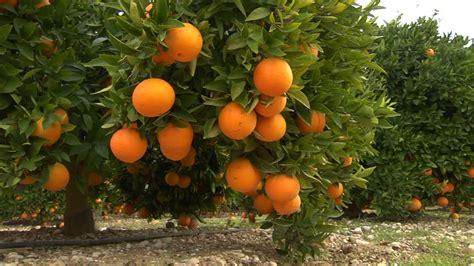 fruit and vegetable garden orange citrus fruit hd stock 453 994 583