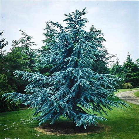 blue trees for sale blue atlas cedar for sale the tree center
