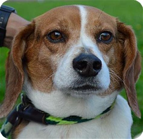 places to adopt dogs westton nj beagle meet romeo d 58613 a for adoption places to visit