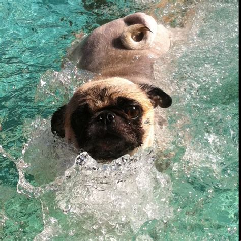 pug jacket swimming 83 best images about swimming pugs on swim lessons pug and pools