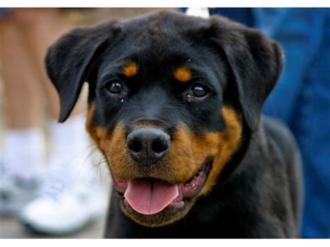 dead rottweiler rottweiler puppy found dead inside car trunk at paterson tow lot wayne nj patch