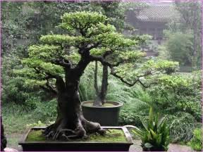 Outdoor bonsai tree home design ideas