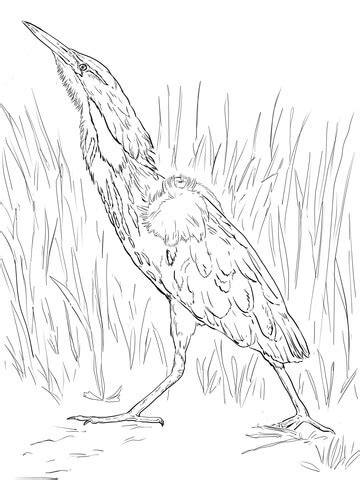 American Bittern Coloring Page Sketch sketch template