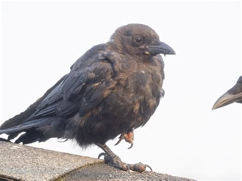 crowpocalypse 2015 june hunter images