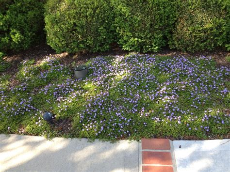 popular landscaping groundcovers and shrubs our favorite ground cover plant mazus greenleaf garden