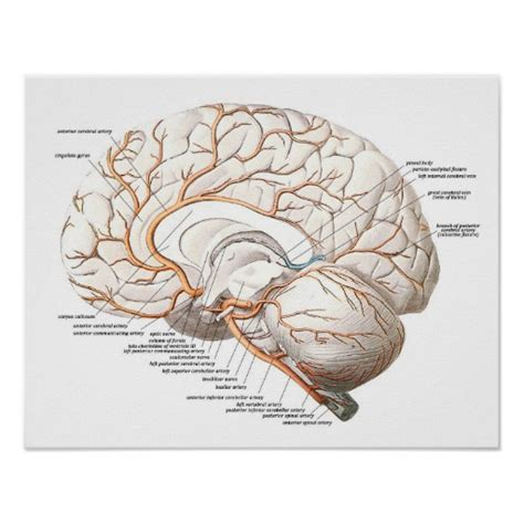 transverse brain section transverse section of the brain poster zazzle