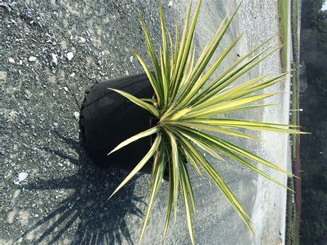 color guard yucca yucca colorguard 3g yucca filamentosa color guard