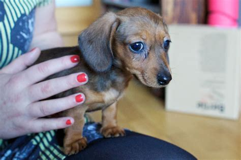 miniature dachshund puppies for sale in oklahoma mini dachshund puppies for sale in oklahoma breeds picture