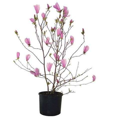 magnolia in vaso come coltivare la magnolia scopri quella pi 249 adatta al