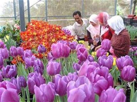 Benih Bunga Tulip Di Malaysia selamat datang ke era infinity wana warni tulip di