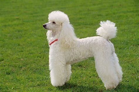 poodle breed miniature poodle breed information buying advice photos and more pets4homes